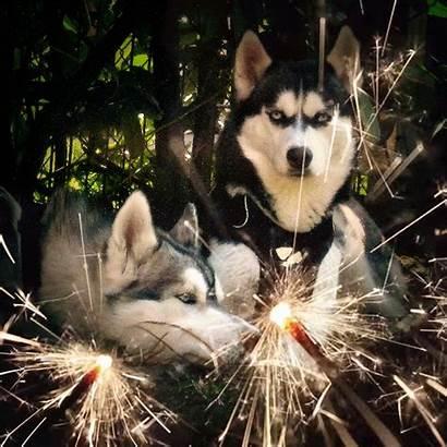 Husky Happy Years Siberian Dogs Eve Huskies