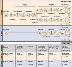 Welcome To The Biology Blog   Monday December 7th Meiosis