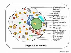 About The Organelles