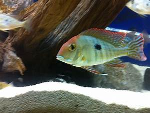 cichlids.com: South American Cichlids