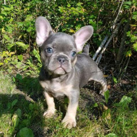 weeks  french bulldogs puppies  palm springs