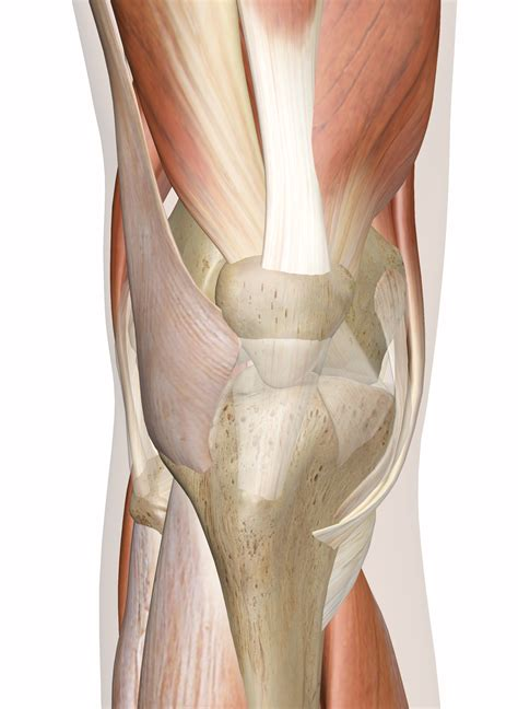The extensor digitorum longus and extensor hallucis longus also extend the toes. Muscles of the Knee - Anatomy Pictures and Information