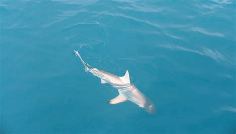 fishing florida keys shark key west link sharks