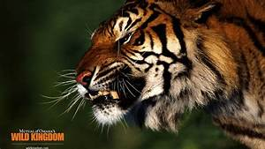 Angry Tiger 1920 x 1080 HDTV 1080p Wallpaper