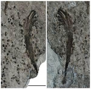 Ocean Animal Fossil
