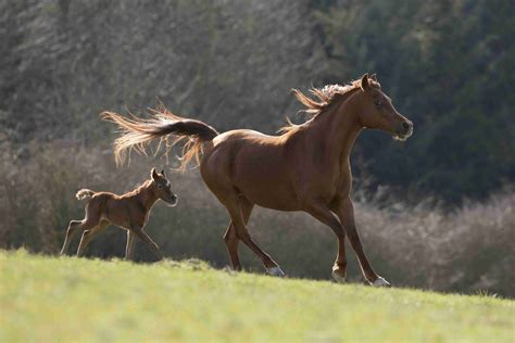 horse breeds arabian riders brown owners colt characteristics moll julia getty strip
