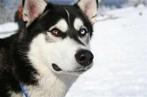 lovely siberian husky dog photo  wallpaper beautiful