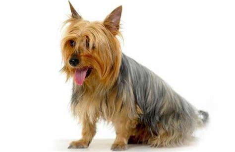 razas de perros peludos guia completa de perros