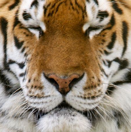 Tiger Face Nice Time