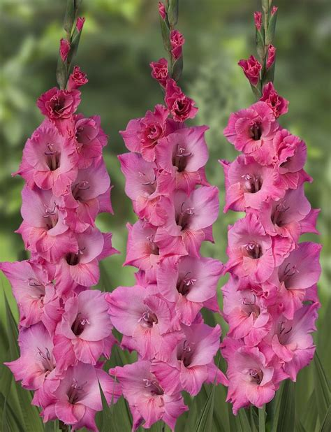 369 best about gladiolus on gladiolus bulbs plants and houses
