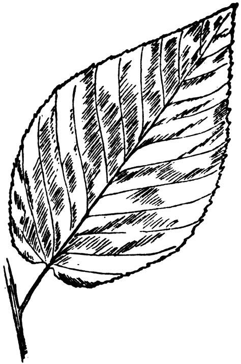black birch leaf clipart