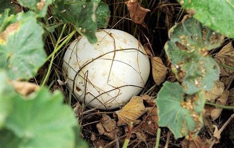 Lu Jamur Besar tukang kebun temukan jamur raksasa di inggris