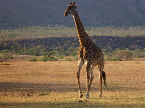pilanesberg national park safaris safari