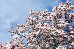 Weiß Blühende Sträucher : zauberhafte magnolien ein highlight in jedem garten ~ Michelbontemps.com Haus und Dekorationen