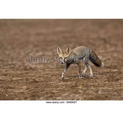 Desert Fox Stock Photos & Images - Alamy