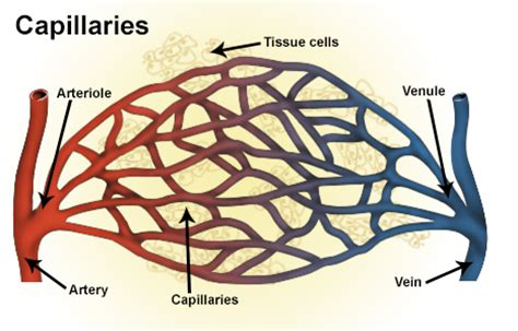 capillary bed definition seer classification structure of blood vessels