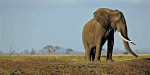 Half Of Mozambique's Elephants Were Slaughtered By ...