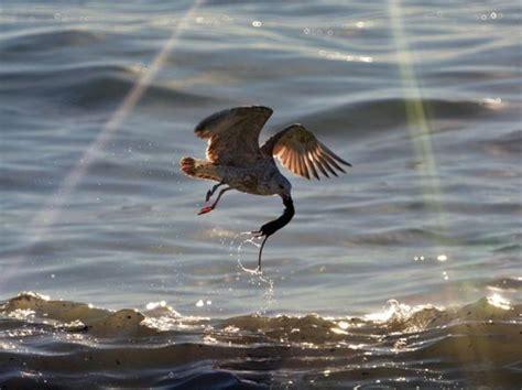 Il Gabbiano Napoli Napoli Il Gabbiano Pesca Un Ratto Nel Mare Inquinato Di
