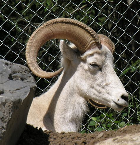 Dall Sheep Head Horn Stock By Ekoh On
