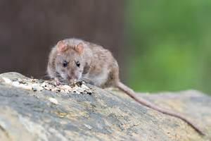 Comment Se Debarrasser Des Rats : surmulot ou rat brun comment s 39 en d barrasser produit antinuisible produit antinuisible ~ Melissatoandfro.com Idées de Décoration