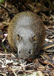 Southern Brown Bandicoot. Endemic to Australia, bandicoots ...