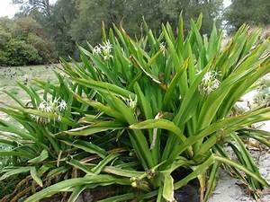 Crinum asiaticum L. - poisonbulb