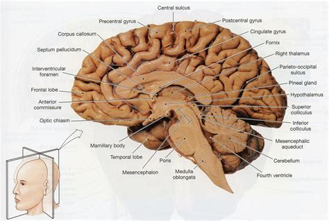 sheep brain anatomy diagram sheep brain dissection worksheet goodsnyc