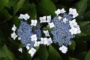 Welche Erde Für Hortensien : tellerhortensie pflanzen pflegen schneiden und mehr ~ Eleganceandgraceweddings.com Haus und Dekorationen