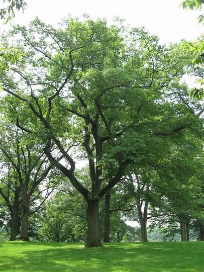 Trees Oak Tree Pennsylvania Quercus Shumard Champion