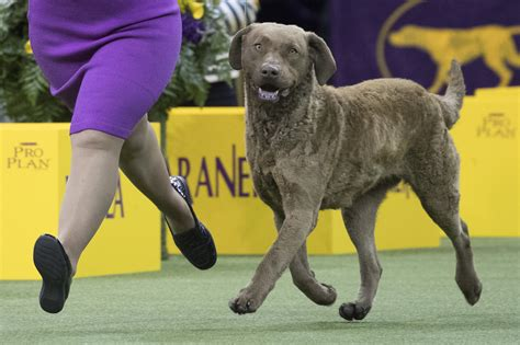 chesapeake bay retrievers   spotlight   umbc