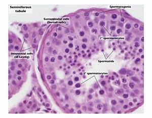 testis slide seminiferous tubules - Google Search ...