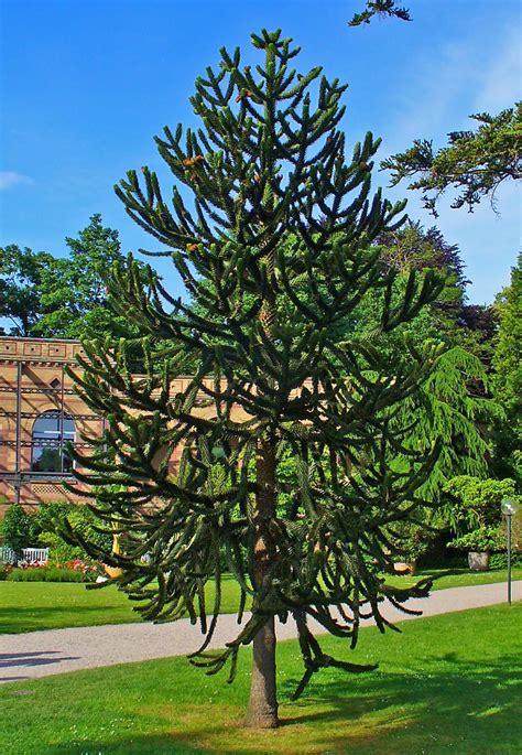 File:Araucaria araucana 0001.JPG - Wikimedia Commons