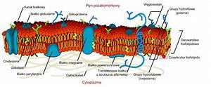 File Cell Membrane Detailed Diagram Pl Svg