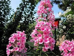 Schattenpflanzen Garten Winterhart : garten phlox staude phlox paniculata garten phlox schnitt ~ Lizthompson.info Haus und Dekorationen