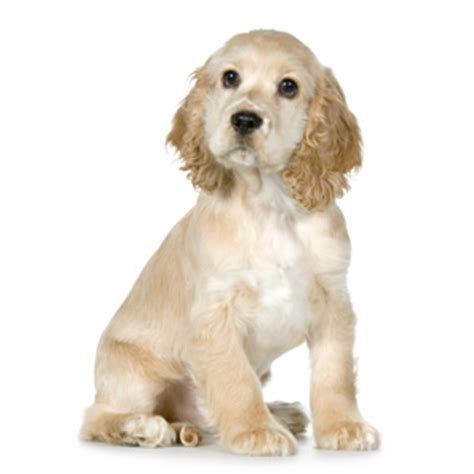 pin cocker spaniel haircut on