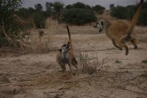 female meerkats compete  outgrow  sisters