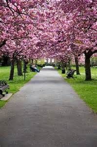 London Cherry Blossoms