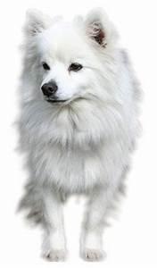 The American Eskimo Dog (Miniature)