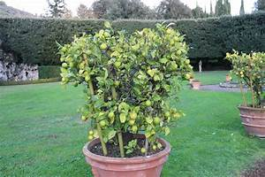 Zitruspflanzen Gelbe Blätter : d ngen oder nicht d ngen ~ Orissabook.com Haus und Dekorationen