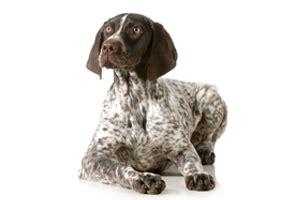 pink boston terriers mittlere rasse hund welpe