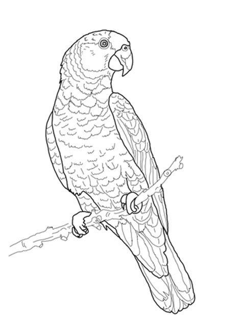 imperial amazon parrot coloring page supercoloringcom