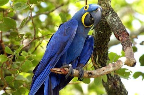arara azul habitat natural te sorprendera conocer esta