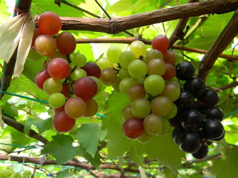 Grape Anggur(Indonesian) The Tropical Herbal Garden