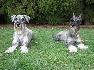 dogs schnauzers