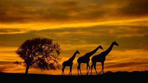 Animal Silhouette Wallpaper - africa giraffes animals wildlife sunset silhouette