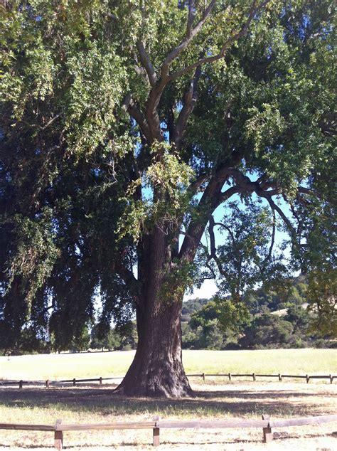 umbellularia bay laurel california california bay laurel