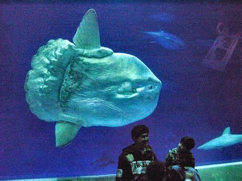 the monterey bay aquarium file mola mola sunfish monterey bay aquarium 2 jpg