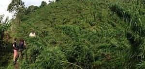 Pied De Beuh : strain hunters seedbank graines de cannabis du monde blog du growshop alchimia ~ Medecine-chirurgie-esthetiques.com Avis de Voitures
