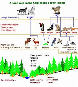 World Builders 1  Biomes Food Web In Coniferous Forest E