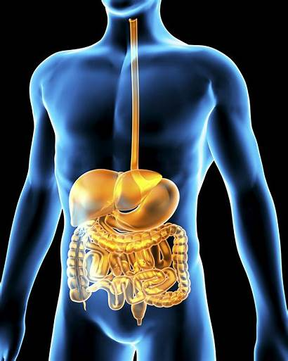 Human Digestive System Bacteria Gut Artwork Which